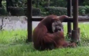 Orango fuma sigaretta lanciata da visitatore