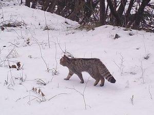 Fotografato in Trentino un gatto selvatico