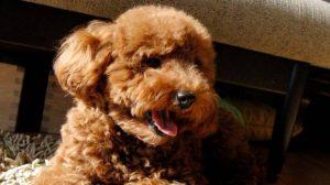 Compra online cucciolo di barboncino, ma il cane muore il giorno dopo. Scoperto traffico di animali sul web