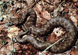 Falcade (Belluno): 27enne morsa da una vipera: è in rianimazione