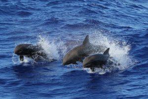 Hawaii, scoperta una nuova specie, metà delfino metà balena