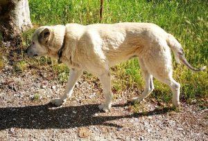 Nocciolino, cane terremotato, fa 60 km per tornare a casa a Norcia