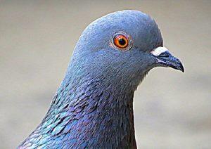 Carabiniere uccide piccione con fucile ad aria compressa: indagato a Roma