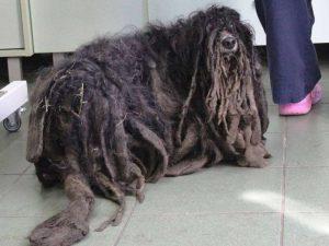 Polonia, cane non riusce a camminare per il troppo pelo55