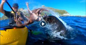 Nuova Zelanda, lo strano attacco della foca col polpo al kayak