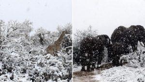 Giraffe ed elefanti innevati in Sudafrica Il VIDEO