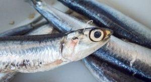 Parassita anisakis dalle alici marinate: uomo fa causa al ristorante