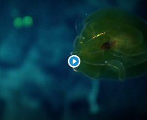 Hawaii, sul fondale dell'oceano c'è lo ctenoforo: verde e scintillante VIDEO