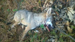 """Foto lupi uccisi, consigliere veneto Stefano Valdegamberi: """"Il prossimo sarà uno della Lav"""""""