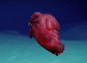 Mostro pollo senza testa filmato per la prima volta nell'Oceano antartico VIDEO