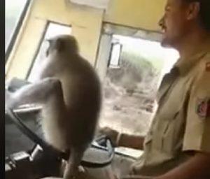india scimmia guida bus