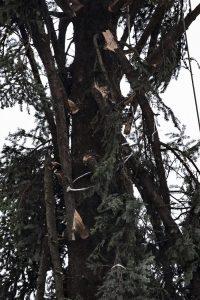 """Roma, arriva il nuovo """"Spelacchio"""": l'albero ha qualche ramo spezzato 5"""