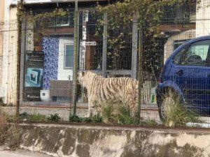 Reggio Calabria: georgiano entra nel recinto del circo, la tigre quasi gli stacca un braccio