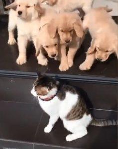 gatto cuccioli golden retriever