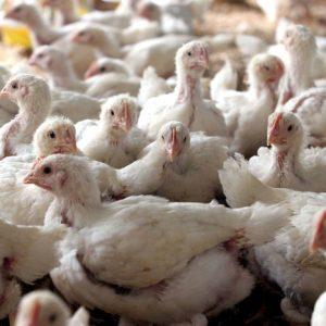 Ucraina, i petti di polli con l'ala in più: il trucco per evitare i dazi europei