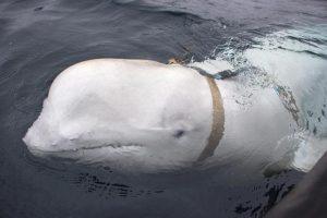 Balena-spia al servizio di Putin? Intercettato beluga con imbracatura russa in Norvegia