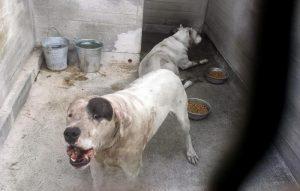 Dogo argentino, per il cane seconda possibilità. Al prossimo umano no