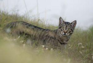 Australia, guerra ai gatti selvatici: ucciderne 2 milioni entro il 2020