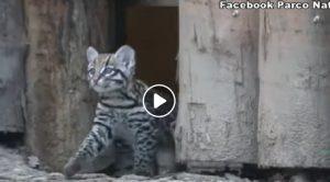 Keyra, primo gattopardo-ocelot nato in un parco in Italia VIDEO