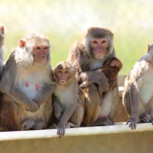 Cina: scimmie modificate con geni umani diventano più intelligenti
