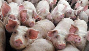 Cina: cento milioni di maiali morti di febbre suina. Verso una crisi alimentare?