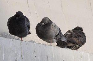 """Enpa (protezione animali): """"700 piccioni sterminati, denunciamo il sindaco di Terre del Reno (Fe)"""""""