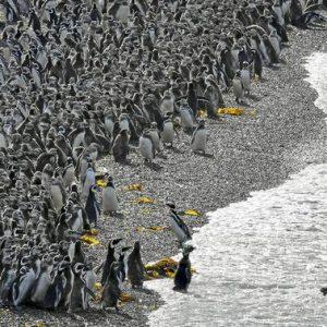 Pinguini imperatori, affogano migliaia di cuccioli. Si scioglie il ghiaccio, non sanno ancora nuotare