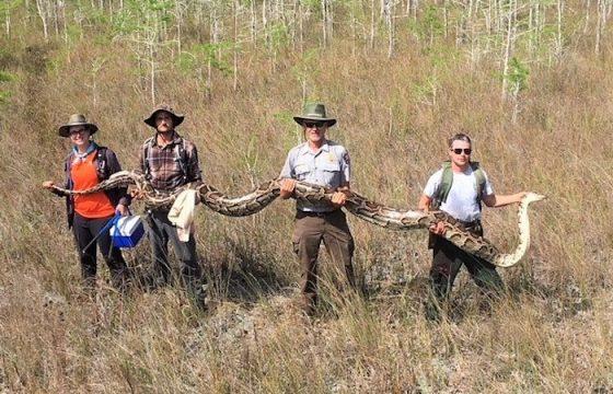 Florida, catturato pitone record: 5,2 metri di lunghezza per 63,5 kg di peso