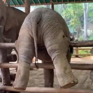 elefantino prova salto staccionata