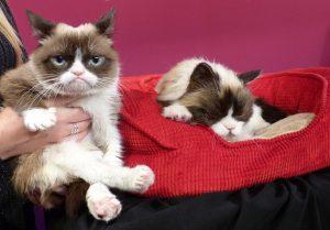 Grumpy cat, morta la gatta più famosa e imbronciata di internet