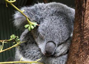 Koala a rischio estinzione: ne sono rimasti solo 80mila