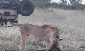 licaone leonessa