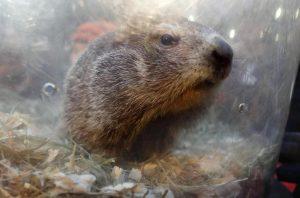 Marmotta, mangiano la carne cruda: moglie incinta e marito morti di peste