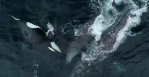 Monterey, branco di orche assassine attacca una balena con il suo cucciolo VIDEO