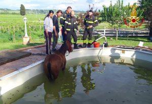 Delfino spiaggiato, puledro in piscina, capriolo incastrato: tutti salvati da vigili del fuoco e urbani