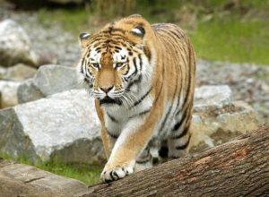 Tigri, perché hanno il manto arancio? Il motivo è negli occhi delle loro prede
