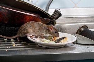Los Angeles, allarme peste bubbonica: coi cambiamenti climatici aumentano topi e pulci