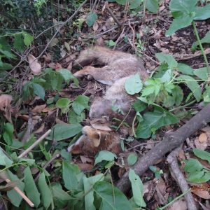 Roma, una delle due volpi di Villa Pamphilj uccisa da un cane senza guinzaglio