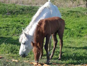 Furti di cavalli vicino Roma: 6 in una settimana, 80 negli ultimi 6 mesi. Destinazione macello?