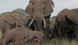 tanzania elefanti piangono esemplare