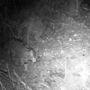 Gatto selvatico avvistato sull'Appennino bolognese: le foto