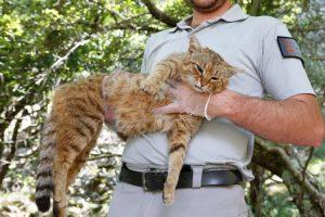 Gatto-volpe, scoperta in Corsica una nuova specie di felino
