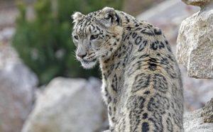 Parco Kruger, allerta in Sudrafica: leopardo uccide bimbo, leoni in fuga