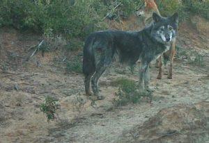 Nerone, metà cane e metà lupo: è lui il capo branco dell'Oasi Lipu di Castel Guido (Roma)