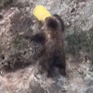 orso bruno muso incastrato