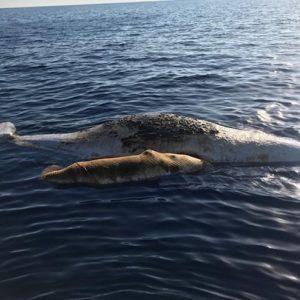 Palmarola: due capodogli, mamma e figlio, morti impigliati in una rete da pesca