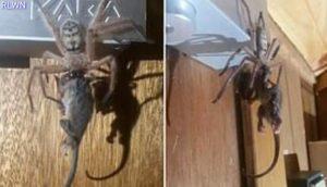 Ragno gigante uccide e mangia opossum in Tasmania: il video