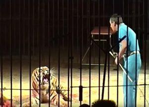 Triggiano (Bari), domatore del circo Orfei sbranato da una tigre