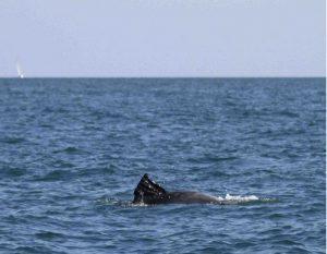 ostia delfino pinna
