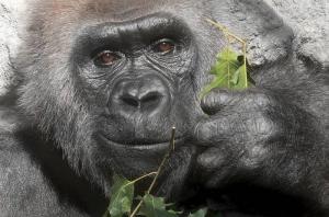 Gorilla, gruppi sociali sono più complessi tra famiglia e amici